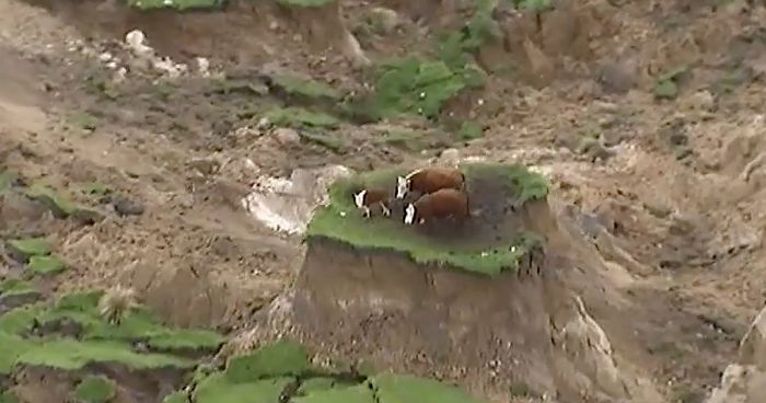 Cows On An Island New Zealand Earthquake