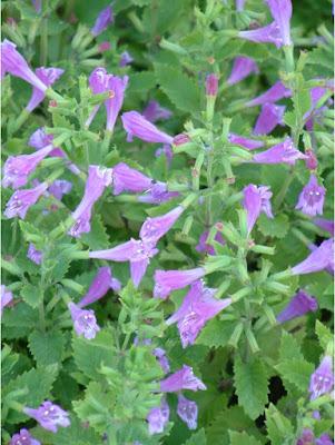 Büyük çiçekli güzel nane (Calamintha grandiflora / Clinopodium grandiflorum)