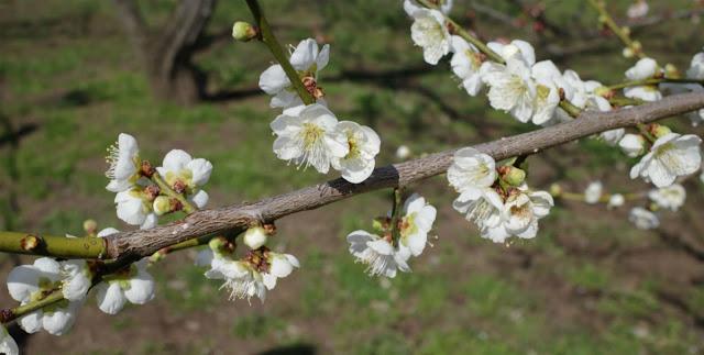 梅園に咲く白梅2