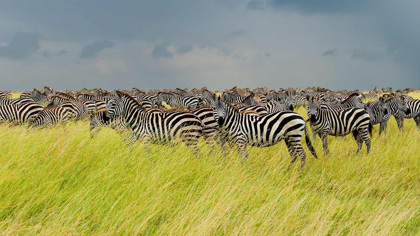 Zebras in Serengeti National Park, Tanzania © pchoui/Getty Images