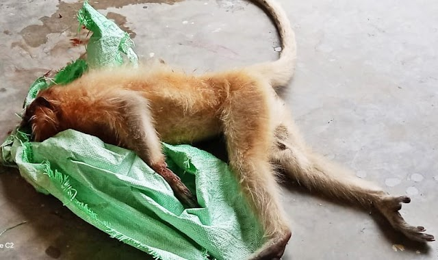 Steps taken for protection of Golden Langur by Bongaigaon district administration