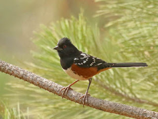 Photo of Spotted Towhee in pine tree