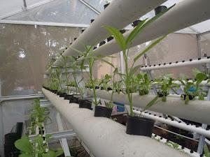 Keuntungan Budidaya Tanaman Hidroponik Dengan Metode Greenhouse