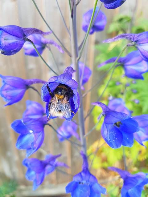 delphinium, bees