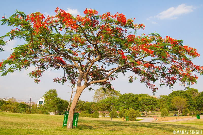 Gulmohar Tree Which Blooms in Summers Only with its Red Beautiful Flowers at Central Park, Jaipur.