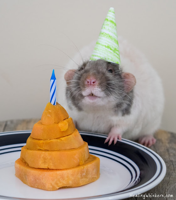 Retired Therapy Rat Vincent with his cake