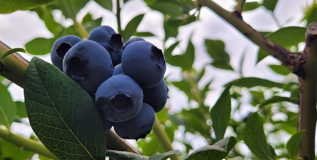 Ripe big blueberries