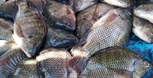 Panduan Cara Budidaya Ikan Mujair