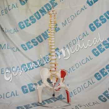 agen torso anatomi organ tubuh tulang belakang