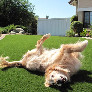 Greatmast ultimate pet artificial grass turf golden retriever dog