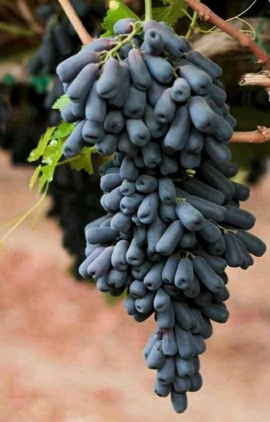 paket 3 Anggur MONDROP batang besar Kalimantan Timur