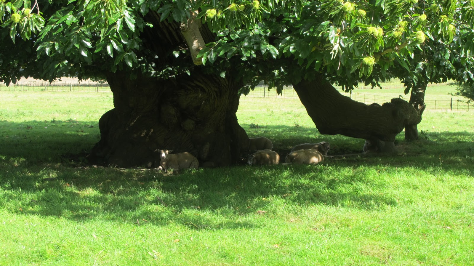 "greentapestry : ""Under the Spreading Chestnut Tree"""