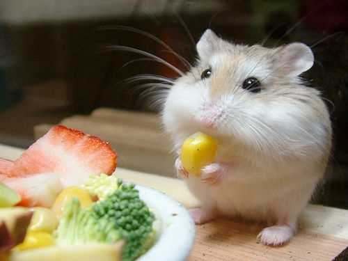 Apakah Hamster Boleh Makan Jagung? Simak Ulasan Berikut