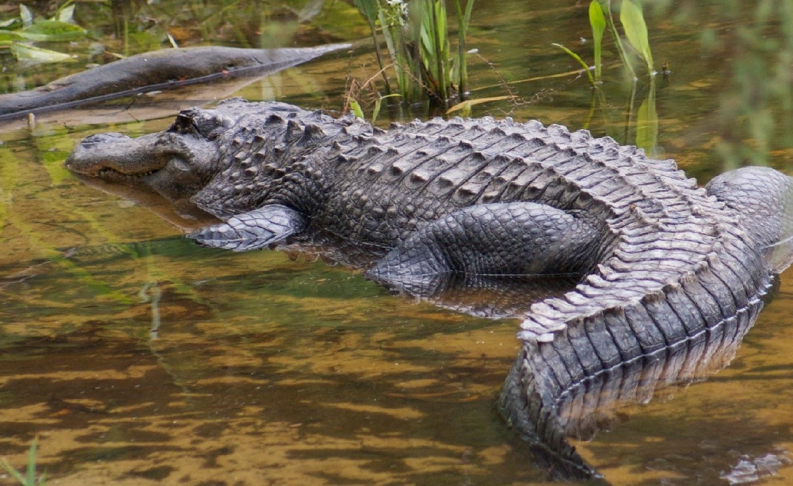 Crocodile - HD Wallpapers | Earth Blog