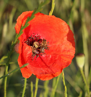Two bees on one poppy flower at once