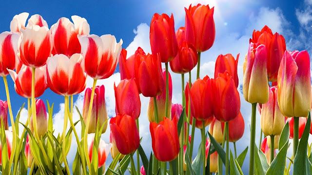 tulipani rossi, wallpaper tulipani,