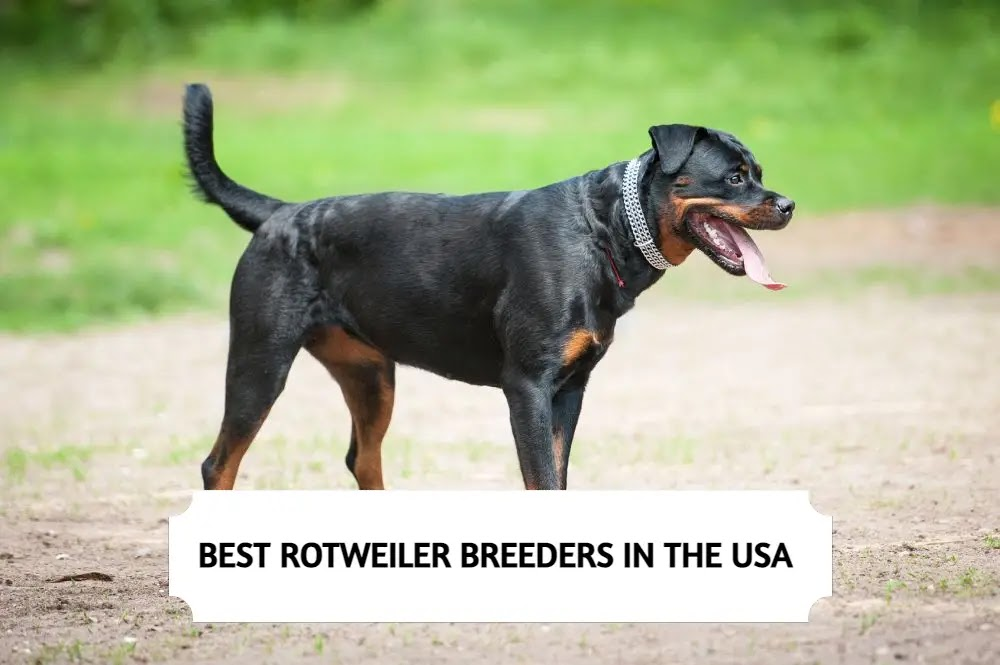 Best Rottweiler Breeders in the USA