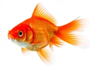 lambung goldfish seukuran bola mata