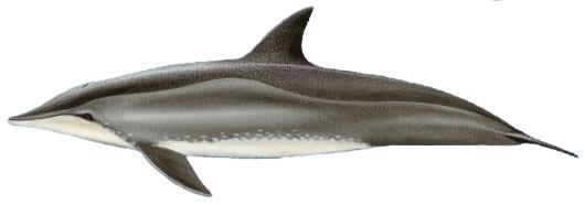 Golfinho-de-Dentes-Rugosos (Steno bredanensis)
