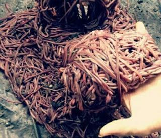 Makanan Ikan Mas Cacing Tanah