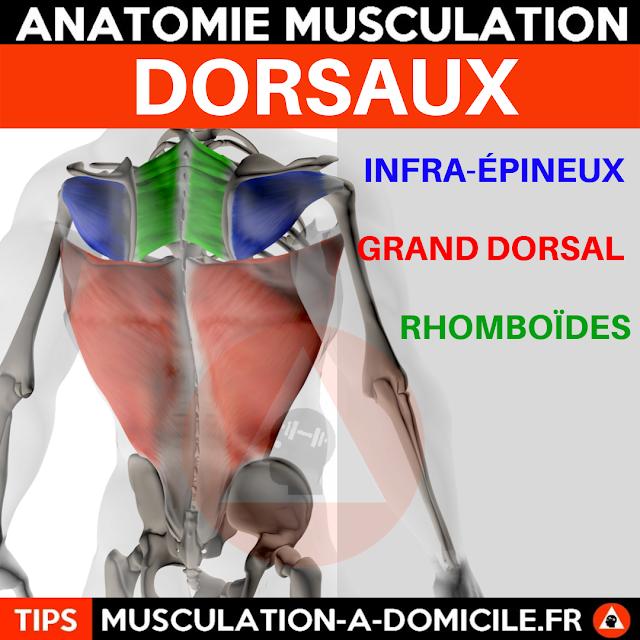 musculation à domicile anatomie des muscles dorsaux dos