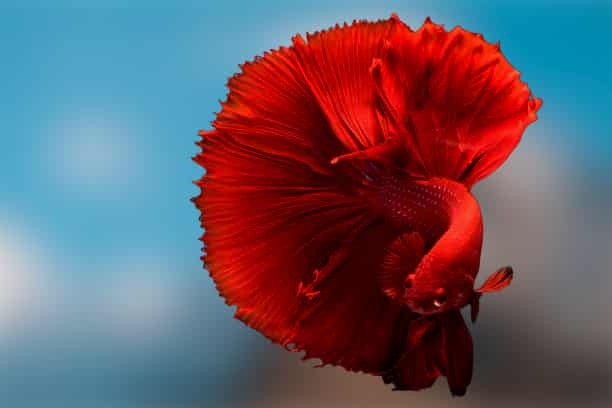 How take care of betta fish