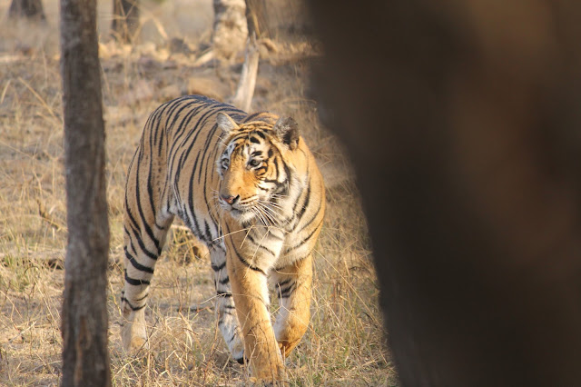 best Tiger Safari India jungle resorts