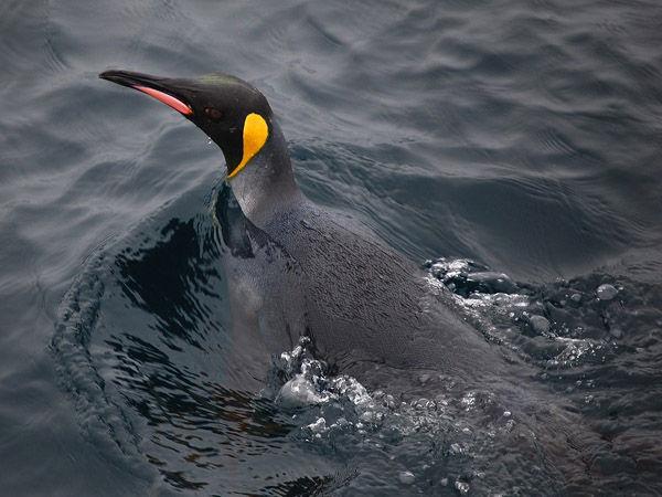 Ciri Fisik Penguin dan Cara Penguin Berkembang Baik ...