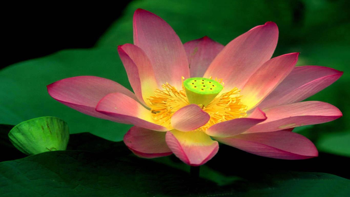 Beautiful Wallpapers Lotus Wallpapers Hd-8144