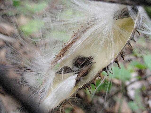 Milkweed seed pod, Missouri. October 2010.