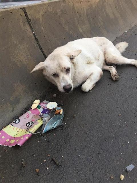 Chú chó bị xe đâm