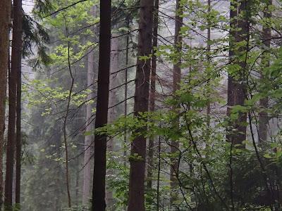 wakacje 2017, grzyby w lipcu, grzyby na Orawie, kurki, pieprznik jadalny, las w deszczu
