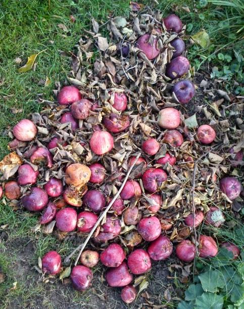Illusztráció vershez, lehullott, rohadó, kupacnyi piros starking alma őszi, barnuló, száraz falevelek és gallyak között a nyárról maradt zöld fűben.