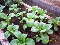 sayur pak coy dara, sayuran pak coy, jual benih pak coy, sawi sendok, toko pertanian, lmga agro