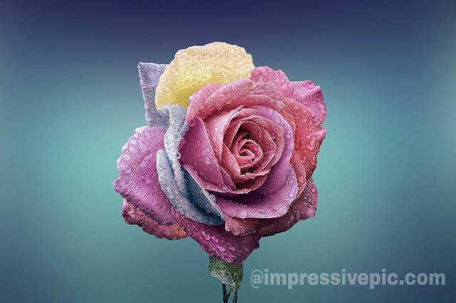 Red-rose-and-multicolored-rose-flower