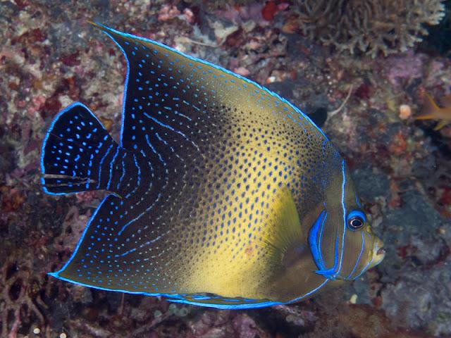 Freshwater Angelfish Care
