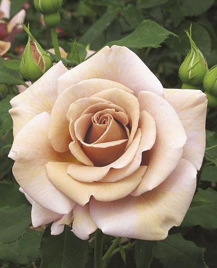 Koko Loko сорт розы фото описание отзывы купить Минск