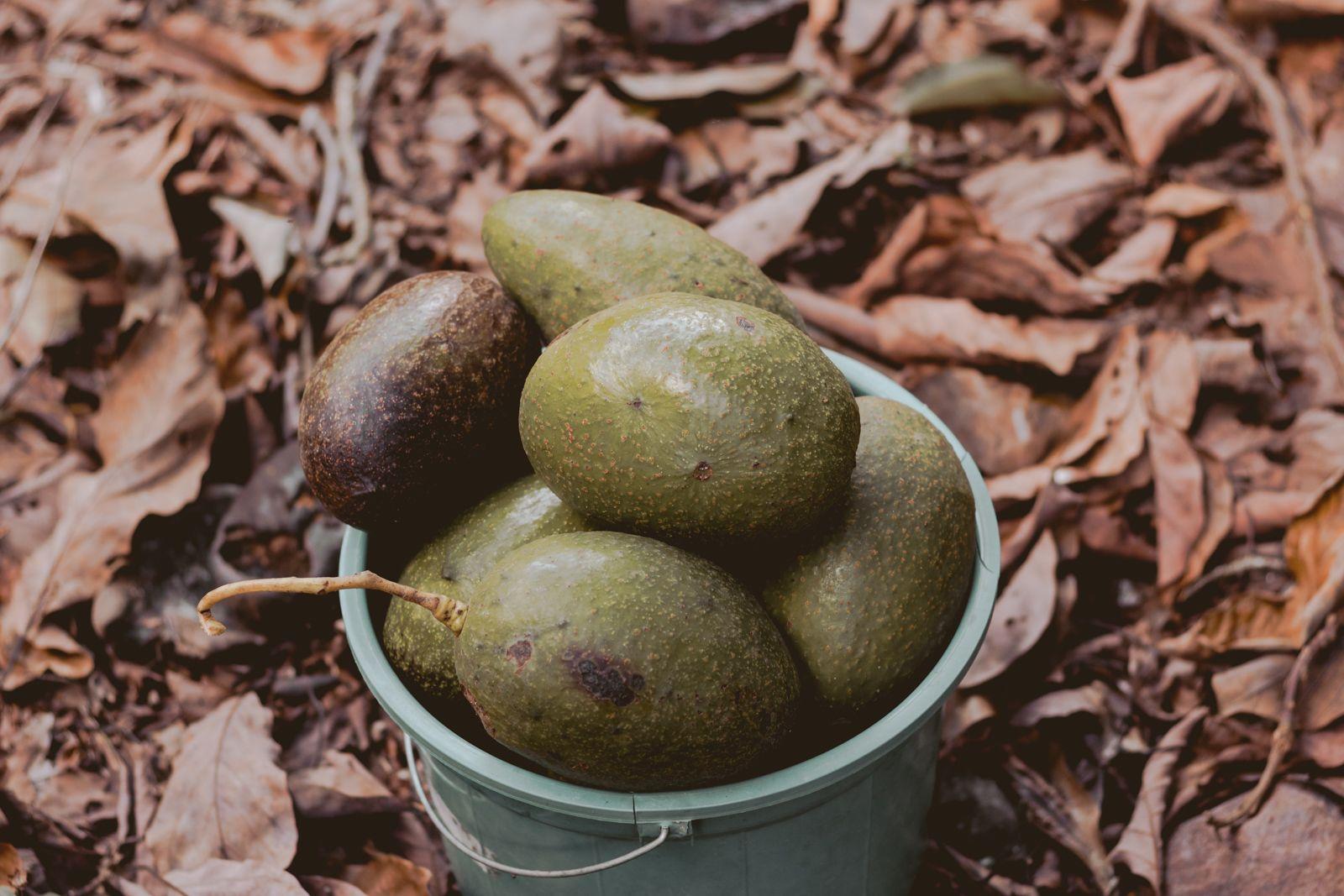 balde de abacate maduros