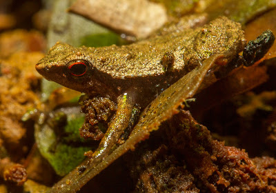 ID: close up of a Gardiner's frog, smaller than a fingernail.  The frog has red eyes and its warm brown body blends with the environment in warm hues.