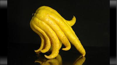 buah aneh berbentuk seperti gurita
