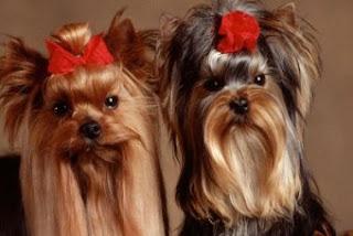 Süs Köpekleri Hakkında Bilgi