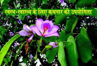 ghuriyal ka phool , ghuriyal ke phool ki sabzi, Kachnar photo, Kachnar image, Kachnar jpeg, Kachnarjpg, स्वस्थ-स्वास्थ्य के लिए कचनार की उपयोगिता in hindi, Utility of Kachnar for Healthy Health in hindi, कचनार में कई रोगों को जड़ से मिटाने की क्षमता होती है in hindi, (Kachnar has the ability to eradicate many diseases from its roots in hindi,) इसके फूल, पेड़ की पत्तियां, तना में  सभी  औषधिय गुण होते हैं in hindi, गुलाबी कचनार का सबसे ज्यादा बेहतर माना जाता है in hindi, कचनार शरीर के किसी भी हिस्से में होने वाली गांठ को गलाने में सक्षम होता है in hindi, कचनार पेड़ के फूल बेहद सुंदर होते हैं in hindi, मगर इसकी छाल अद्भुत लाभकारी है in hindi, इसके रेशों से रस्सी बनाई जाती हैं in hindi, तो वहीं इसके पत्तों का साग बनाकर खाया जाता है in hindi, कचनार एक औषधी है in hindi, इसके अनेक औषधीय गुण होते हैं in hindi, यह कई रोगों के इलाज के लिए उपयोग में लाया जाता है in hindi, आयुर्वेदिक औषधियों में ज्यादातर कचनार की छाल का ही उपयोग किया जाता है in hindi, इसका उपयोग रक्त विकार in hindi, त्वचा रोग in hindi, दाद in hindi, खाज-खुजली in hindi, एक्जीमा in hindi, फोड़े-फुंसी in hindi, आदि के लिए भी कचनार की छाल का उपयोग किया जाता है in hindi, रक्तस्राव in hindi, रक्त-पित्त in hindi, बवासीर को रोकने के लिए इसका उपयोग किया जाता है in hindi, कचनार की १२ प्रजातियाँ पाई जाती हैं in hindi, जिनमे कुछ बेल का रूप भी धारण कर लेते है in hindi, फूलों की दृष्टि से कचनार तीन प्रकार का होता है in hindi, सफेद, पीला और लाल तीनों प्रकार का वृक्ष पूरे देश में मिलते है in hindi, इसके कई नाम मिलते हैं संस्कृत- काश्चनार in hindi, हिन्दी- कचनार in hindi, मराठी- कोरल in hindi, कांचन in hindi, गुजराती in hindi, चम्पाकांटी, गढ़वाली- गुविरियाल-घुरियाल in hindi, बंगला- कांचन in hindi, तेलुगू- देवकांचनमु in hindi, तमिल- मन्दारे in hindi, कन्नड़- केंयुमन्दार in hindi, मलयालम- मन्दारम् in hindi, पंजाबी- कुलाड़ in hindi, कोल- जुरजु in hindi, बुजin hindi, बुरंगin hindi, सन्थाली- झिंजिर in hindi, इंग्लिश- माउंटेन एबोनी in hindi, बॉहिनिया वैरीगेटा (Bauhinia variegata in hindi,) और बॉहिनिया परप्यूरिया (Bauhinia purpurea in