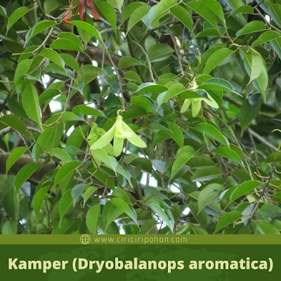 Kamper (Dryobalanops aromatica)