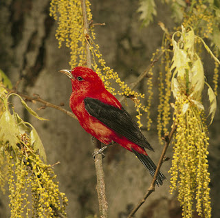 Photo of male Scarlet Tanager in tree with yellow blooms