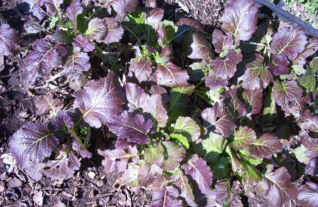 Experiential Gardener: Growing Cherokee Blue Mustard for