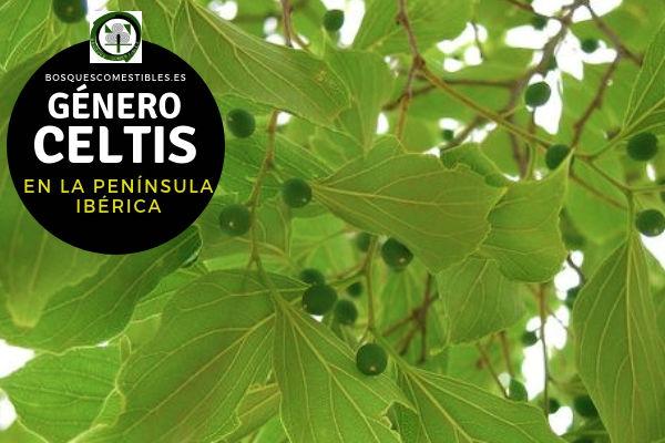 Lista del Género Celtis, familia Ulmaceae en la Península Ibérica