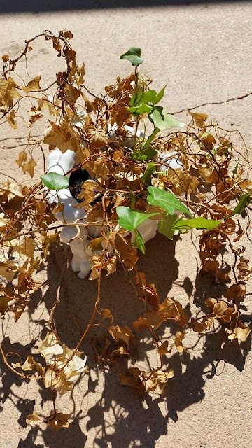 A dead ivy plant