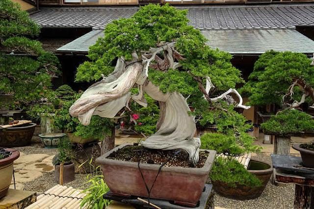 Bonsai em Shunka-en