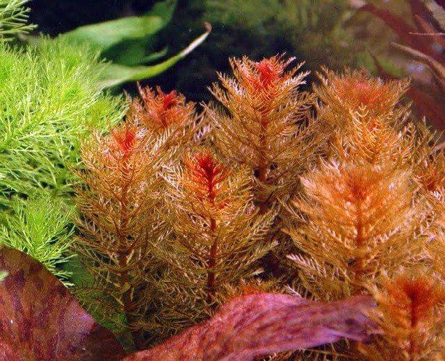 Ảnh cây chồn đỏ trong một hồ thủy sinh