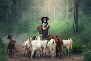 Keuntungan/Kelebihan Beternak Kambing Etawa